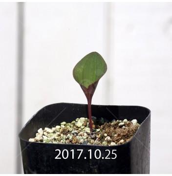 エリオスペルマム カペンセ 実生 2215