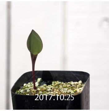 エリオスペルマム カペンセ 実生 2218
