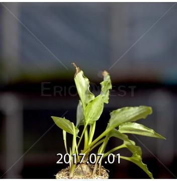 ドリミオプシス マキュラータ  LAV30689 子株 2757