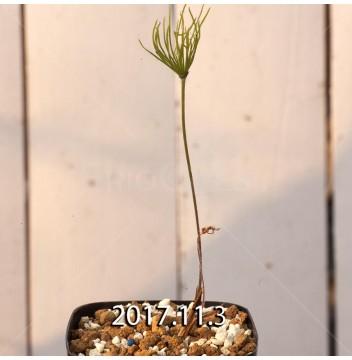 エリオスペルマム プロリフェルム 子株 7288