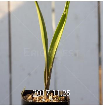 ラケナリア アロイデス クアドリカラー変種 子株 7320