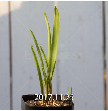 ラケナリア アロイデス クアドリカラー変種 子株 7326