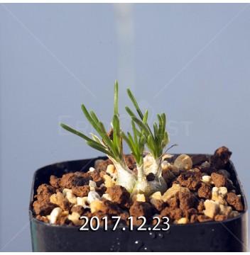 オーニソガラム sp. KangoRiver 子株 8036