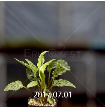 ドリミオプシス マキュラータ  ES16593 子株 845