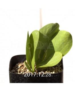 オキザリス モノフィラ 白花 子株 1854