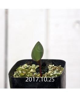エリオスペルマム カペンセ 実生 2214