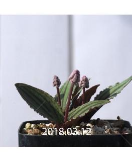 ドリミオプシス sp. nov. 子株 2869