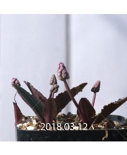 ドリミオプシス sp. nov. 子株 2880