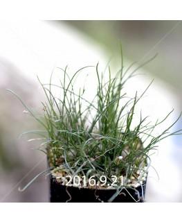 ドリミア ウニフローラ IB11266 実生 2978