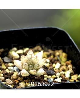 ハオルチア レティキュラータ フリンギー変種 RIB0462, 3211