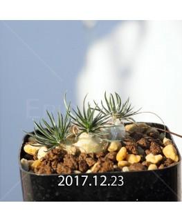 オーニソガラム サルディエニー 子株 3373