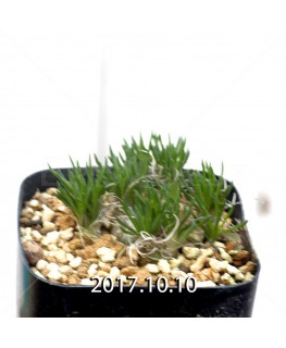 オーニソガラム sp.  子株 4015