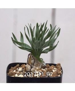 ドリミア フィソデス 子株 4220