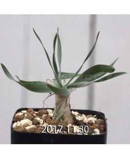 ドリミア フィソデス 子株 4221