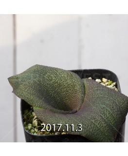 マッソニア プスツラータ Type-SHS 実生 4417