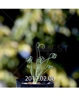 アルブカ ナマクエンシス Worcester株 × ES15533 実生 4433
