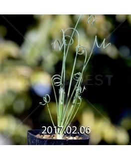 アルブカ ナマクエンシス Worcester株 × ES15533 実生 4438