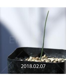 エリオスペルマム アフィルム IB10404 実生 4599