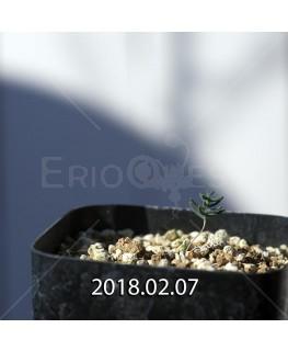 エリオスペルマム アフィルム IB10404 実生 4600
