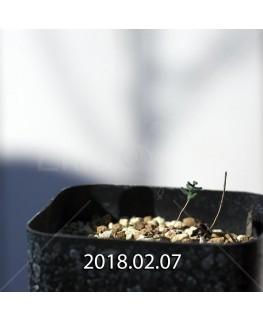 エリオスペルマム アフィルム IB10404 実生 4616