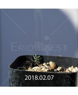 エリオスペルマム アフィルム IB10404 実生 4619
