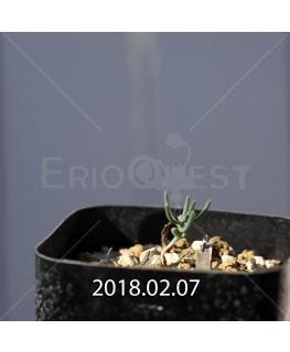 エリオスペルマム アフィルム IB10404 実生 4626