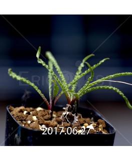 レデボウリア クリスパ 小型 子株 5456