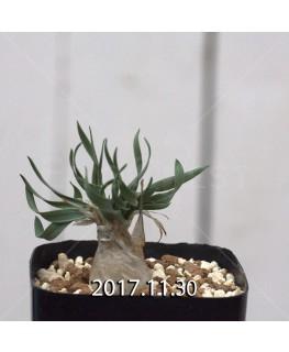 ドリミア フィソデス 子株 6680