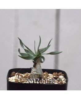 ドリミア フィソデス 子株 6686