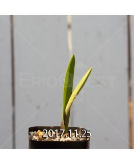ラケナリア アロイデス クアドリカラー変種 子株 7336