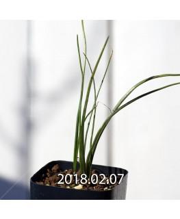 ラケナリア ロンギチューバ Type-TS 子株 7910