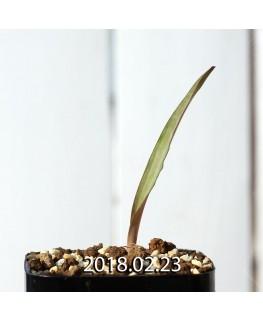 ラケナリア オーキオイデス グラウキナ変種 実生 8419