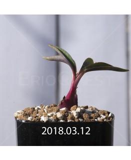 レデボウリア コリアセア DMC9654 子株 8727