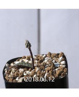 ドリミオプシス sp. EQ496 子株 8843