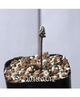 ドリミオプシス sp. EQ496 子株 8845