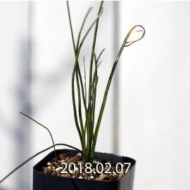 ラケナリア ロンギチューバ Type-TS 子株 7909