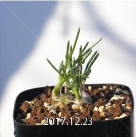 オーニソガラム sp. KangoRiver 子株 8021