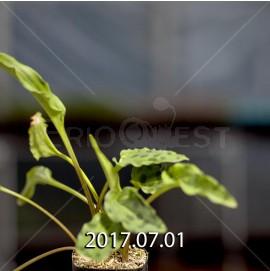 ドリミオプシス マキュラータ  ES16593 子株 847