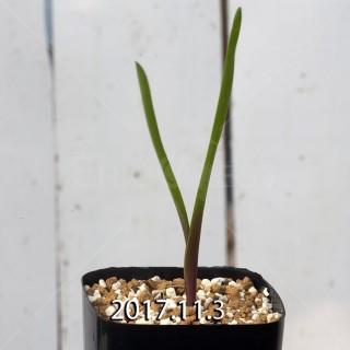 ラケナリア アローイデス クアドリカラー変種 子株 2264