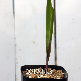 ラケナリア アローイデス クアドリカラー変種 子株 2275