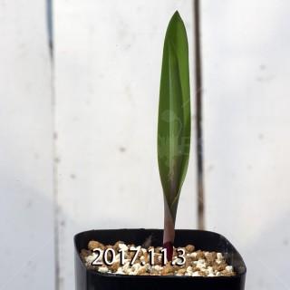 ラケナリア アローイデス クアドリカラー変種 子株 2278