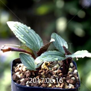 ドリミオプシス sp. nov. 子株 2858