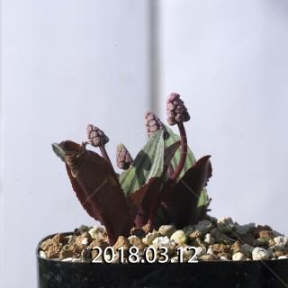 ドリミオプシス sp. nov. 子株 2877