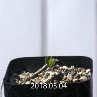 ブラキステルマ ナヌム ES10526 実生 5722