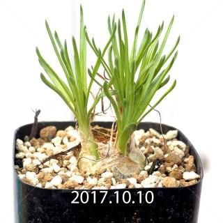 オーニソガラム リトプソイデス 子株 6316