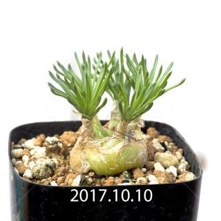 オーニソガラム リトプソイデス 子株 6318