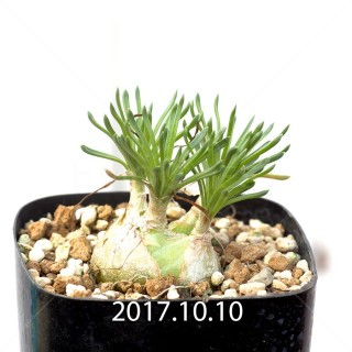 オーニソガラム リトプソイデス 子株 6320