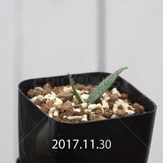 マッソニア ピグマエア 子株 6813