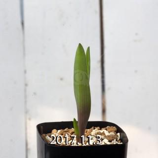 ラケナリア アロイデス クアドリカラー変種 子株 7311