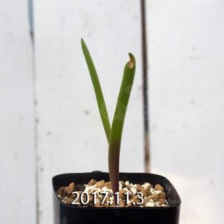 ラケナリア アロイデス クアドリカラー変種 子株 7316